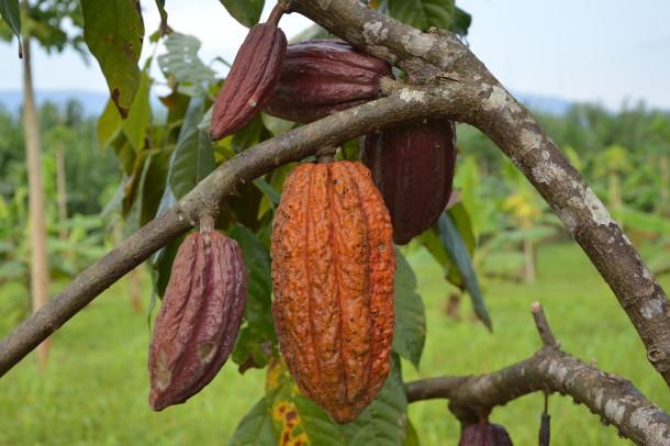 Sara Ana Kakaofrucht gelb